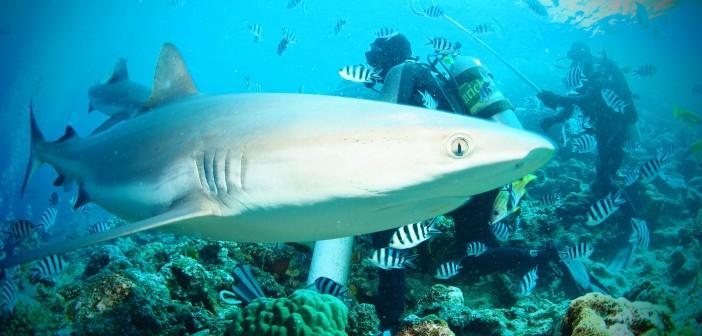 Interview med Iben, der arbejdede frivilligt med hajbevaring i Fiji